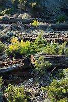 Europe/Provence-Alpes-Côte d'Azur/83/Var/Iles d'Hyères/Ile de Porquerolles: Troncs de pins  à la Calanque de l'Indienne