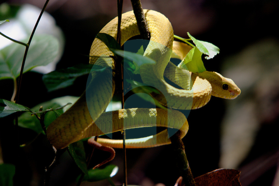 February 8th 2005_  Tutuala, Timor-Leste_ A yellow viper prepares to strike from its perch in a section of dense forest near the wind-swept cave of Ile Kére Kére high above the coastline near Tutuala.  Daniel J. Groshong/Tayo Photo Group