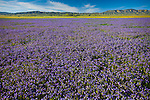 Spring wildflowers carpet the Carrizo Plain; roughly 50 miles (80 km) long and up to 15 miles (24 km) across. Contains the 250,000 acre (1,012 km²; 101,215 ha) Carrizo Plain National Monument (Est. 1/17/2001), largest single native grassland (San Joaquin Valley biogeographic province) remaining in California. Caliente Range in background. San Luis Obispo County, CA.