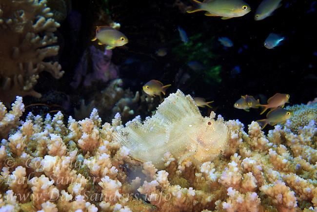 Leaf Scorpionfish ( Taenianotus triacanthus ) underwater of Wakatobi, Southeast Sulawesi, Indonesia.