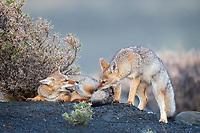 """South American gray fox (Lycalopex griseus) kits enjoying play with an edge. Per Wikipedia, this species is also known as the Patagonian fox, the chilla or the gray zorro. This is a species of Lycalopex, the """"false"""" foxes. Whatever you call them, these little guys were a whirlwind of activity and extremely cute. <br /> Laguna Amarga, Torres del Paine National Park, Patagonia Chile."""