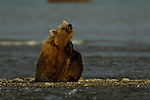 A coastal brown bear has a scratch while fishing in a creek, near the ocean, in Lake Clark National Park, Alaska.  Photo by Gus Curtis.