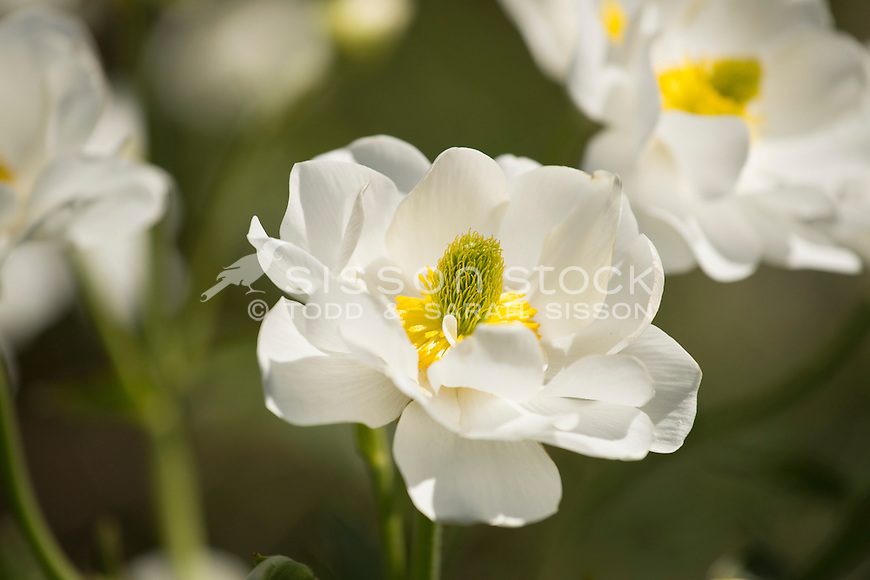 Mount Cook Lily | Giant Buttercup, New Zealand - stock photo, canvas, fine art print