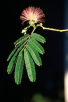 FLOWERING TREES AND SHRUBS<br /> Mimosa leaves and Flowers (Albizia julibrissin)<br /> The bright fragrant blossoms attract hummingbirds.
