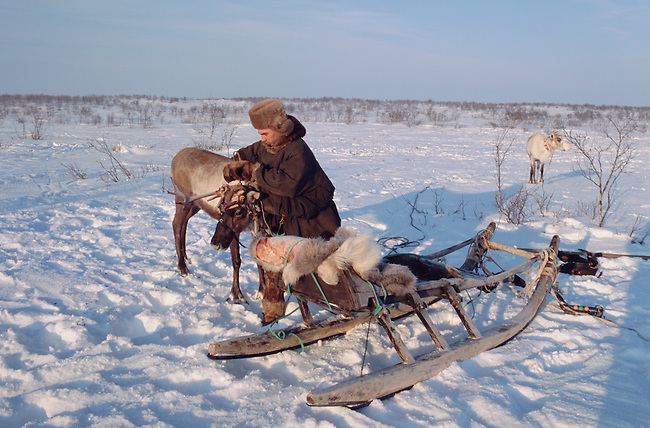 Velodia Dirkatch, a Sami reindeer herder from Lovozero, harnesses a draught reindeer to his sled. Murmansk, NW Russia