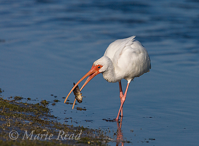 White Ibis (Eudocimus albus) catches a toadfish, Estero Lagoon, Ft. Myers, Floridae, USA (Fish ID by Dr. J.B. Heiser)