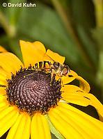 0310-1201  Transverse Flower Fly (Hover Fly), Pollinating Flower,  Eristalis transversa  © David Kuhn/Dwight Kuhn Photography