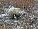 Grizzly, Atlin  Grizzly