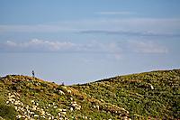 Shepherd, herd of sheep, Swan Valley, Idaho