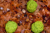 Hedge apples from osage orange tree (Maclura pomifera) persimmons an acorns on ground of wet leaves, western US