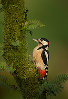 Great spotted woodpecker Dendrocopos major, male perched on moss-covered birch, Dumfries, Scotland, November