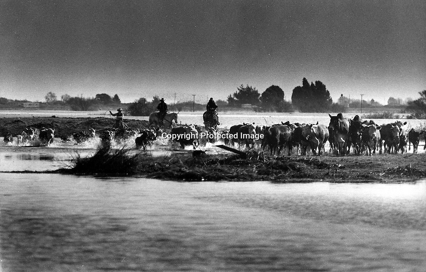 Ranchers drive their cattle to high ground during levee break and Island flooding in the Delta.<br /> 1980.