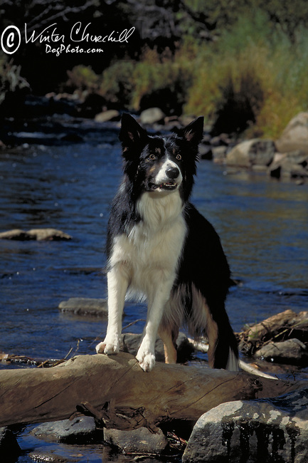 Border Collie Shopping cart has 3 Tabs:<br />