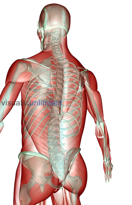 An inferior posterolateral view (right side) of the musculoskeleton of the upper body. Royalty Free