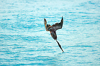 Diving Brown Pelican breaking the surface