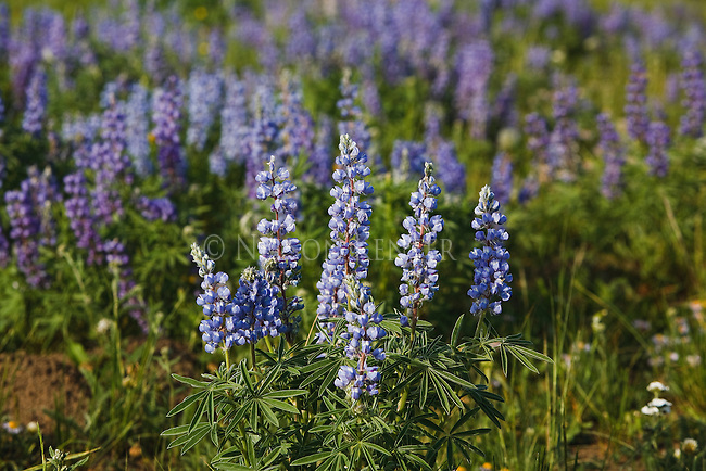 Lupine Wildflowers in Montana