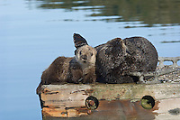 Sea Otter (Enhydra lutris) mom and pup resting on boat dock.