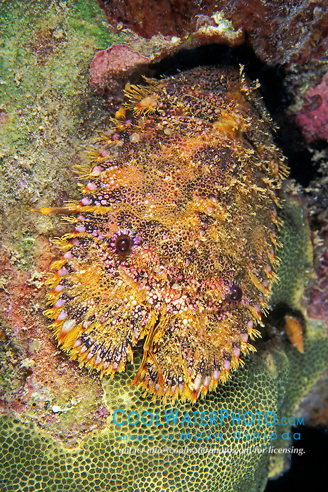 sculptured slipper lobster, Parribacus antarcticus, Kona, Big Island, Hawaii, Pacific Ocean.