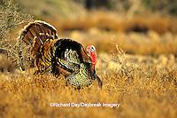 """00845-05015 """"Rio Grande"""" Wild Turkey (Meleagris gallopavo) male/gobbler strutting,  Starr Co.  TX"""