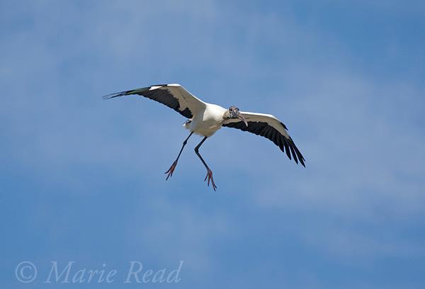 Wood Stork (Mycteria americana) in flight, coming in to land, Orlando, Florida, USA