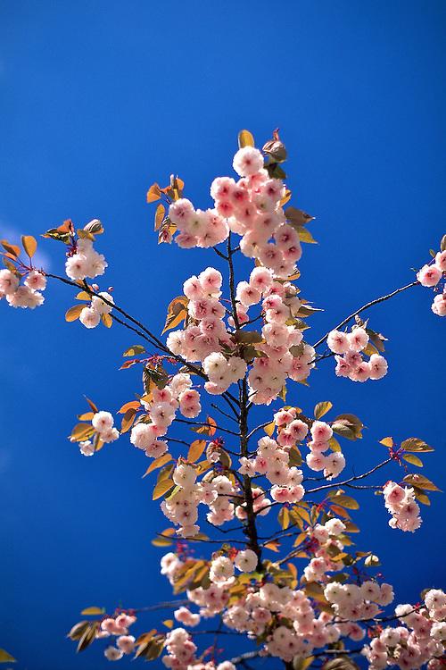 Backlit branch of flowers of Prunus 'Hokusai' (cherry) at Simon Fraser University, Burnaby, BC.