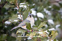 01298-034.19 Tufted Titmouse (Baeolophus bicolor) in American Holly tree (Ilex opaca) in winter, Marion Co., IL