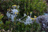 Senecio palmeri, Guadalupe Island senecio or Palmer's Sagewort, silver gray foliage native perennial flowering in Regional Parks Botanic Garden, Berkeley, California