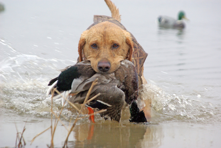 Retriever bringing in a mallard on duck hunt near Stuttgart, Arkansas