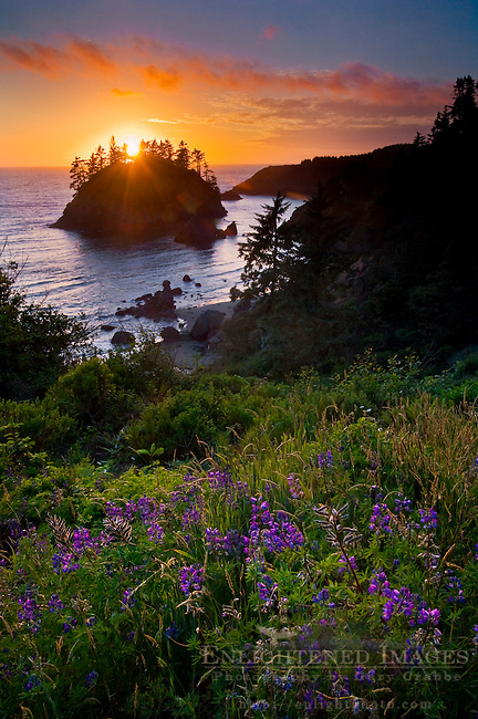 Lupine wildflowers in bloom and sunset light over Pewetole Island, Trinidad State Beach, Humboldt County, California