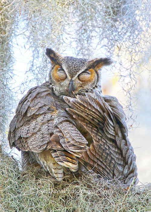 Preening Great Horned Owl