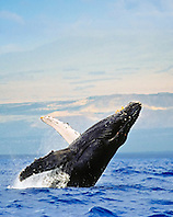 humpback whale, Megaptera novaeangliae, breaching, competing male with bloody fighting scars, Hawaii, USA, Pacific Ocean