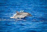 Stenella coeruleoalba, Striped Dolphin, Surfacing, Azores-Portugal