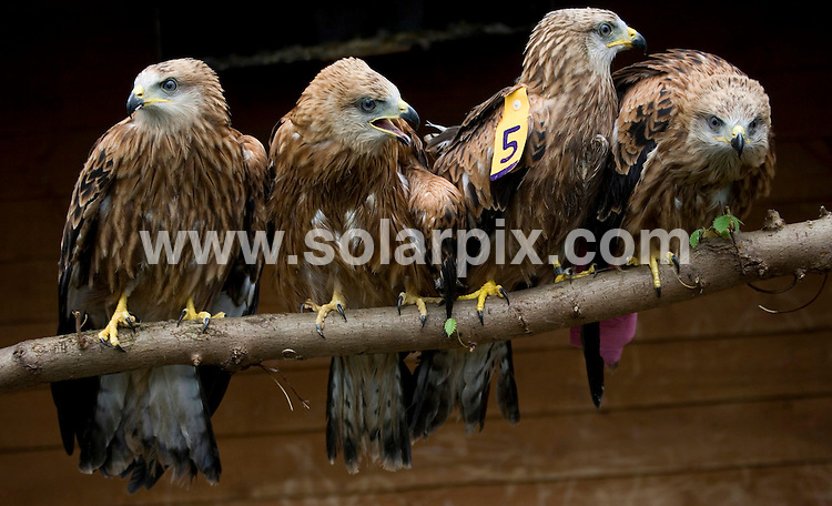 **ALL ROUND PICTURES FROM SOLARPIX.COM**.**NO UK NEWSPAPER PUBLICATION **UK MAGAZINE PUBLICATION ONLY** AND NO PUBLICATION IN FRANCE, SCANDINAVIA, AUSTRALIA AND GERMANY** .Wet weather brings chaos to the rare Red Kite -.Normally St Tiggywinkles Wildlife Hospital rescue up to 4 Red Kite a year but due to the bad weather they have given homes to 5 already this week which is extremely rare..All of the birds have been found on the ground completely drenced and covered in mud. They were found in Marlow, Radnage, High Wycombe, Hambledon and Studley Green..After they've had a few good meals and  the weather  improves they will all be released .JOB REF:4240-SFE       DATE:10_07_07 .**MUST CREDIT SOLARPIX.COM OR DOUBLE FEE WILL BE CHARGED* *UNDER NO CIRCUMSTANCES IS THIS IMAGE TO BE REPRODUCED FOR ANY ONLINE EDITION WITHOUT PRIOR PERMISSION*