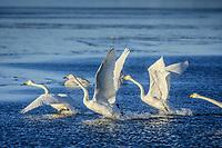 Sångsvanar lyfter vid ett isigt hav vid Torö i Östersjön