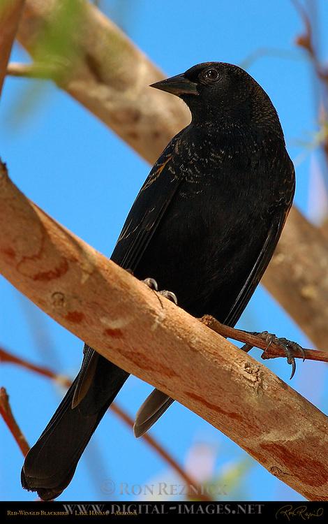 Red-Winged Blackbird, Lake Havasu, Arizona