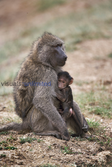 Female Olive Baboon with baby, Papio anubis, Lake Nakuru National Park, Kenya