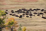 CUSTER STATE PARK SD -- SEPTEMBER 29 -- A herd of bison wander through Custer State Park in the fall of 2008.