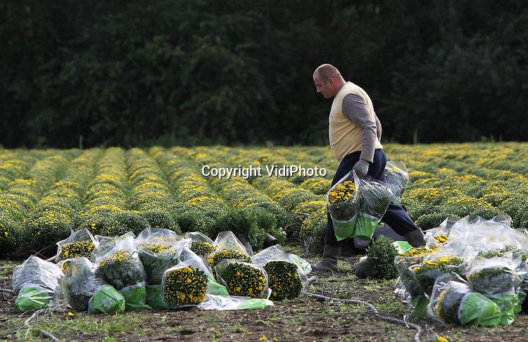 Foto: VidiPhoto..AARLE-RIXTEL - Poolse werknemers van bloemenkweker Verschure-Vogelsang in het Brabantse Aarle-Rixtel oogsten woensdag bolchrysanten. Voor Verschure is september de drukste maand van het jaar. Juist in deze periode kreeg hij te maken met een inval van de politie en arbeidsinspectie en werd hij onder meer beschuldigd van uitbuiting.