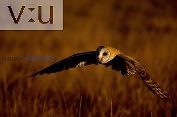 A Barn Owl locating prey. ,Tyto alba, Boulder, Colorado