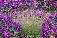 Schizachyrium scoparium, Little bluestem grass with Aster novae-angliae 'Purple Dome', in Colorado prairie garden; Scripter garden, design Lauren Springer Ogden