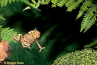 FR17-001x  American Toad - young toad jumping - Anaxyrus americanus, formerly Bufo americanus