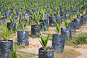 The on-site oil palm tree nursery uses drip irrigation to water the potted plants, conserving water and preventing erosion. The Sindora Palm Oil Plantation, owned by Kulim, is green certified by the Roundtable on Sustainable Palm Oil (RSPO) for its environmental, economic, and socially sustainable practices. Johor Bahru, Malaysia