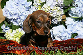 Bob, ANIMALS, REALISTISCHE TIERE, ANIMALES REALISTICOS, dogs, photos+++++,GBLA4352,#a#, EVERYDAY