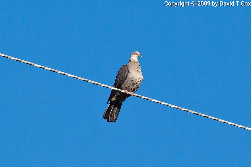 White-Headed Pigeon juvenile, outside Miriam-Vale, Australia