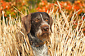 00279-019.15 Deutsch Drahthaar (DIGITAL) watches for game from blind made of Fast Grass.  Dog, hunt, waterfowl, ducks.  H3F1
