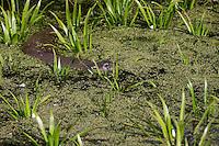 Europäischer Fischotter, Fisch-Otter, Otter, Weibchen, Lutra lutra, river otter, European otter, female
