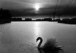 Swan in lake, Hanau, Germany