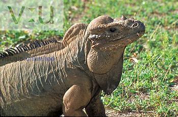Mona Island Iguana (Cyclura stejnegeri)