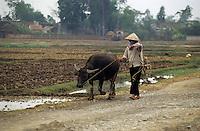 Asie/Vietnam/Mao Khe: paysan revenant des labours avec son buffle