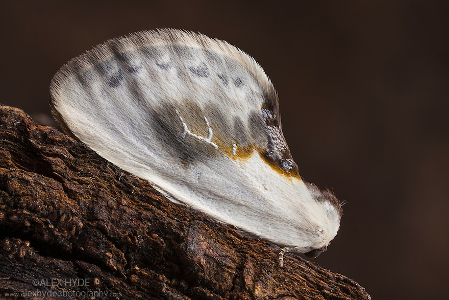 Chinese Character moth {Cilix glaucata}, Peak District National Park, Derbyshire, UK. August.
